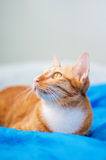 Red cat. Lovely red cat, soft focus royalty free stock image