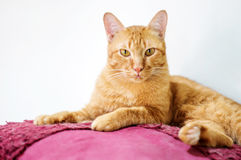 Red cat. Lovely red cat, soft focus royalty free stock photos