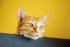 Red cat. Lovely red cat, soft focus royalty free stock photography