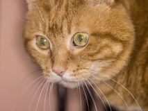 Red cat. Lovely red cat. Soft focus stock photography