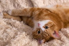 Red cat lying on the bed. Pet  couch resting. Fluffy cat sleepin Royalty Free Stock Photography