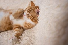 Red cat lying on the bed. Pet  couch resting. Fluffy cat sleepin Royalty Free Stock Images