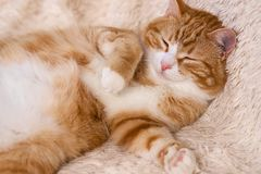 Red cat lying on the bed. Pet  couch resting. Fluffy cat sleepin Royalty Free Stock Image