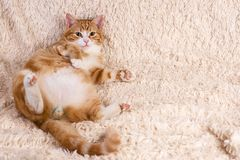 Red cat lying on the bed. Pet  couch resting. Fluffy cat sleepin Royalty Free Stock Photo