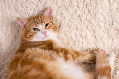 Red cat lying on the bed. Pet  couch resting. Fluffy cat sleepin Royalty Free Stock Photos