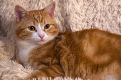 Red cat lying on the bed. Pet  couch resting. Fluffy cat sleepin Stock Image