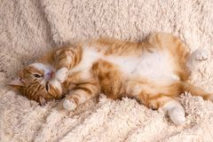 Red cat lying on the bed. Pet  couch resting. Fluffy cat sleepin Stock Photography