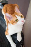 Red cat lying on black leather chair Royalty Free Stock Photo