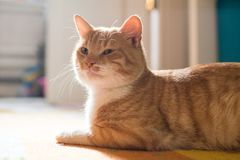 Red cat lying on the carpet. In the house Stock Image