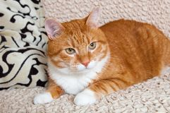 Red cat lying on the couch. Funny red cat lying on the couch Stock Photography