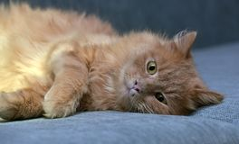 Red cat lying. On the couch Royalty Free Stock Images