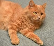 Red cat lying. On the couch Royalty Free Stock Image