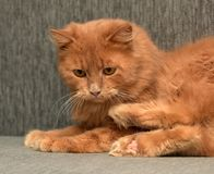 Red cat lying. On the couch Stock Photo