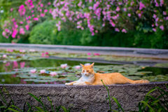 The red cat is lying on the edge of the pool with lilies Stock Photo