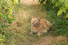 A red cat is lying on the garden path. Stock Image