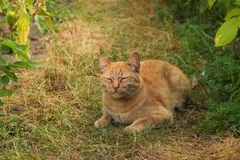 A red cat is lying on the garden path. Stock Photography
