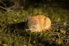 Red cat lying on the grass. stock photography