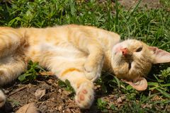 Red cat lying in the grass stock photos