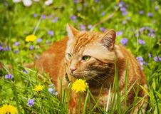 Red cat lying on the green grass. Royalty Free Stock Photo