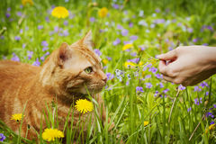 Red cat lying on the green grass with wildflowers Stock Image
