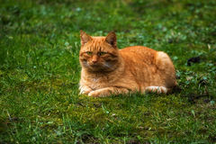Red cat lying on a green meadow, copy space Stock Images
