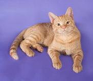 Red cat lying on lilac Stock Image