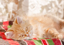 Red cat lying Royalty Free Stock Images