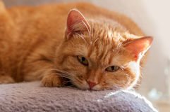 Red cat lying Royalty Free Stock Photos