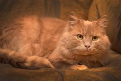 Red cat lying. On the couch Stock Photography