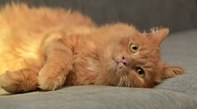 Red cat lying. On the couch Royalty Free Stock Photo