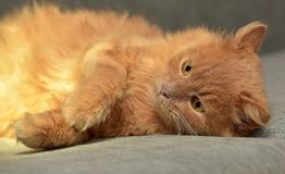 Red cat lying. On the couch Stock Image