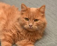 Red cat lying. On the couch Stock Photos