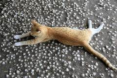 Red cat lying on a shell floor. The floor is made of concrete and reel shells. A red cat is nicely lying, relaxing, wondering, purring... Shot Taken in Gambia stock photography