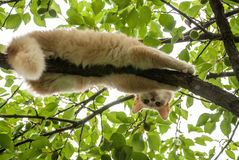 Red cat lying on a tree and looking down Royalty Free Stock Photos