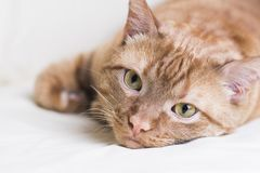 Red cat lying on white background, smart piercing look. Portrait stock images
