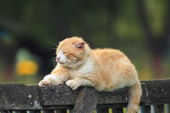 Red cat lying on the wooden fence in the village royalty free stock photography
