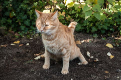 Red cat making  poo in the garden Royalty Free Stock Photo