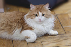 Red cat in meditation Royalty Free Stock Photos