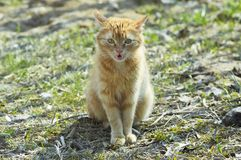 Red cat meow. Cat sitting on lawn grass and meow Royalty Free Stock Photography