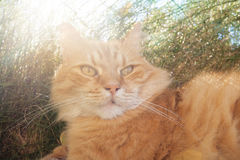 Red Cat in nature. Red Cat lying in the grass Stock Photography
