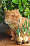 Red cat and onion Royalty Free Stock Photos