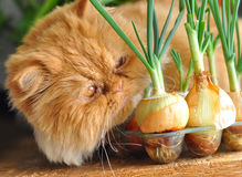 Red cat and onion royalty free stock images