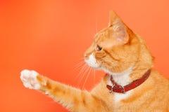 Red cat on orange background Royalty Free Stock Photo
