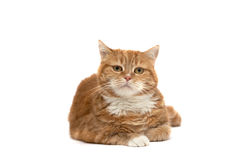 Red cat with orange eyes Royalty Free Stock Photos