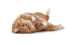 Red cat with orange eyes Stock Photos