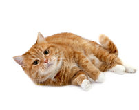 Red cat with orange eyes Stock Images
