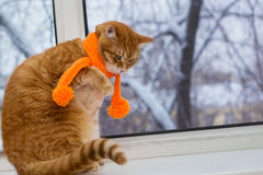 Red cat in an orange scarf Royalty Free Stock Image