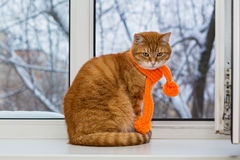 Red cat in an orange scarf Stock Images