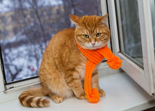 Red cat in an orange scarf Royalty Free Stock Photo
