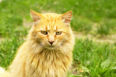 Red cat. Outdoors portrait on the grass background Stock Photography